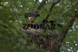 das große Fressen... Schwarzstorch *Ciconia nigra*, Altvogel versorgt Nachwuchs im Horst mit Futter