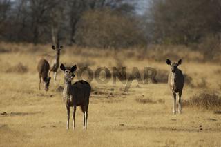 sambarhirsch im khana nationalpark, indien, sambar deer, cervus unicolor, khana national park, india
