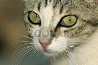 Katzenschoenheit mit grossen Augen.