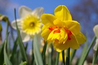 Narzisse der Sorte Tahiti - the Daffodil flower is called Tahiti