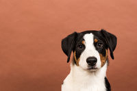 appenzeller dog in portrait on pink background
