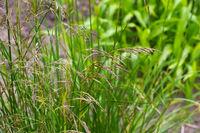 Rasen-Schmiele - Deschampsia cespitosa - tufted hairgrass, Deschampsia cespitosa in autumn