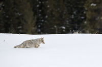 walking through deep snow... Coyote *Canis latrans*