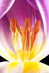 Gluehende Tulpe