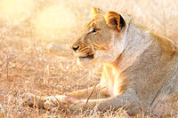 lioness in the evening light, Kruger NP, South Africa