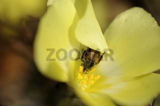 Blütenkäfer, Peritrichia cinerea, sucht Sonnenschu