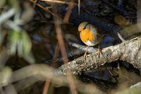robin at a creek