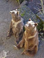 friedliche Bären