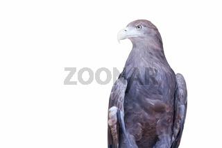 grey sea eagle isolated