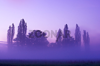 trees in a misty morning with purple sunrise