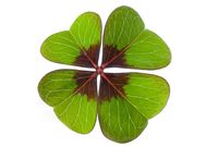 Four-leave clover isolated - lucky charm - macro shot