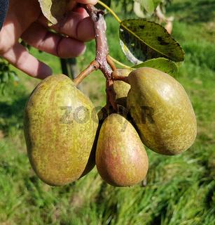 Alte Buergermeister Birne, Alte Birnensorten, Birnen