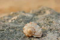 Close-up of spiral sea shell on the coast rock