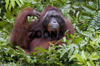 Borneo-Orang-Utan Männchen / Orangutan male / Pongo pygmaeus