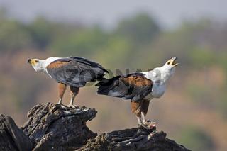 junge Schreiseeadler (Haliaeetus vocifer), Chobe Fluss, Chobe River, Chobe National Park, Botswana, Afrika, young African Fish Eagles, Africa