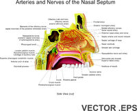 Arteries and Nerves of the Nasal Septum.