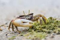 European Male Fiddler Crab,  Uca tangeri, Maennliche Europaeische Winkerkrabbe