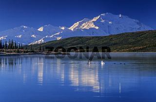 Trompeterschwaene am fruehen Morgen auf dem Wonder Lake und dem Denali im Hintergrund / Denali Nationalpark  -  Alaska