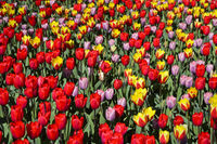 Colourful variety of Dutch tulips, Lisse, Bollenstreek, Netherlands