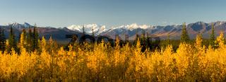 Blazing Yellow Fall Autumn Color Tress Denali Mountain Range