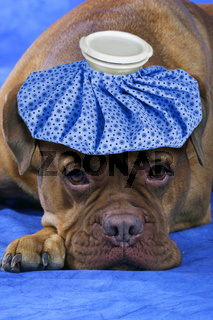 Spassfoto: Kranker Hund mit Eismuetze