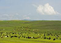 Gemischte Herde aus Ziegen und Rindern weidet in der mongolischen Steppe