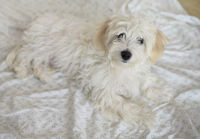 Young maltese dog