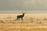 fallow deer stag on meadow in orange morning light ( Dama )
