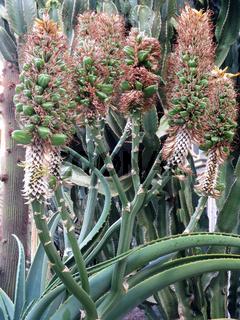Aloe (Aloe spec.), Fruchtstaende
