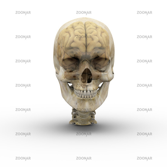 Male skull and brain.