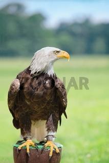 Bald eagle head close up portrait