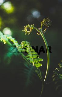 Pteridium aquilinum (bracken, brake or common bracken)