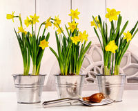 Pots of spring daffodils on table