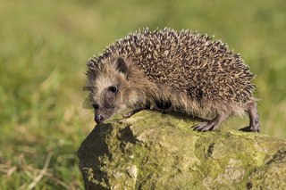 Igel, hedgehog