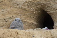 lonely... Eurasian Eagle Owl *Bubo bubo*, very young owlet sitting in front of nesting burrow