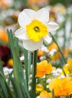 Daffodil flower in a flowe bed