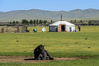 Mongolian horses garzing nearby a  yurt (ger), Orkhon Valley, Mongolia