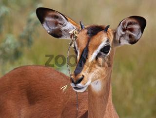 Impala, Schwarzfersenantilope, Antilope, Namibia, Aepyceros melampus
