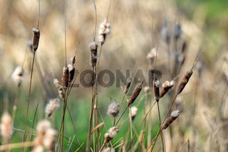 Reed plant near lake