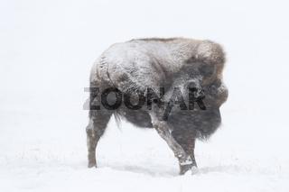 Fellpflege... Amerikanischer Bison *Bison bison*