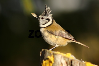 european crested tit eating sunflower seed ( Lophophanes cristatus )