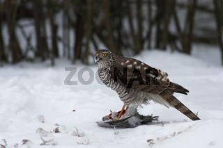 Sperber, Accipiter nisus, Eurasian sparrowhawk