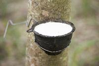 THAILAND BURIRAM AGRICULTURE RUBBER TREE