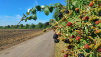 A bush full of blackberries on the edge of a field road.