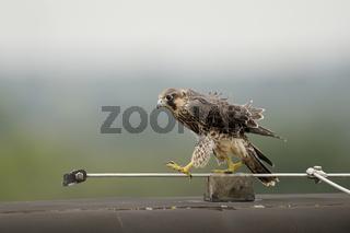 Balanceakt... Wanderfalke *Falco peregrinus*
