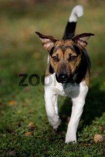 rennender Jack Russell Terrier