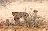 cheetahs at Kruger National Park, South Africa