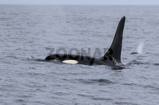 male orca sailing among waves of a cloudy day