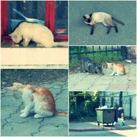 Feral Cats live outdoors and need adoption collage toned image set