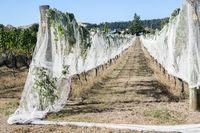 Covered grape vines